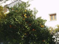 Oranges in garden