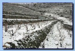The grapefields with snow.