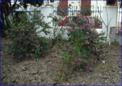 Flowering bushes at the church.