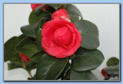 Flowers by Jan's neighbours 6. Mar. (camelia)