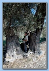 Torben 'in' a big olivetree