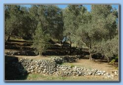 Nice treated olive grove