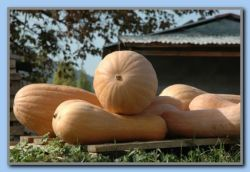 Good size pumpkins by the church