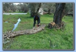 Trimming olive trees