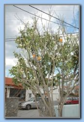 Orange tree with flowers