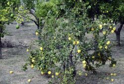 39_Kidonia-Quince