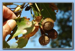 Fruits from plane-tree