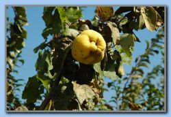 A mad apple? - It is Quince(uk), Kvde/Kvede(Dk&N) or Kidonia(Gr).