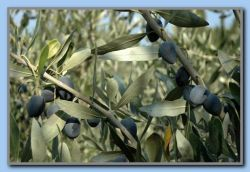 Olives again